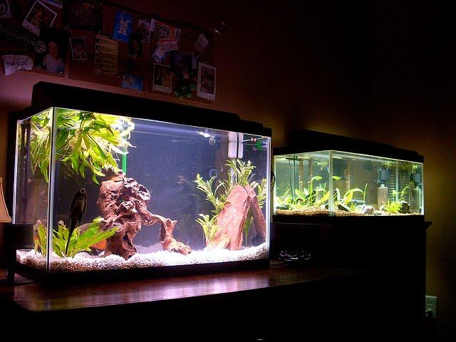Oscar_Fish_Tankmates